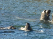 elephant-seals-at-play