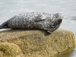 monterey-harbor-seal