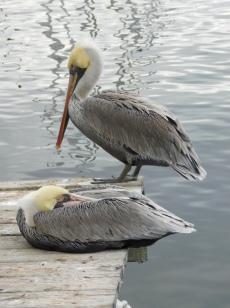 monterey-pelicans