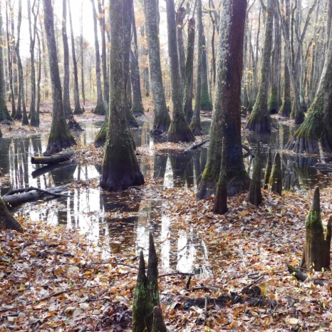 cypress-swamp