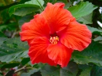 hibiscus-red