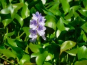 mauve-flower