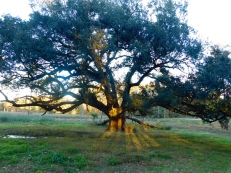 ole-oak