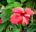 red-hibiscus