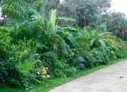 tropical-hedge