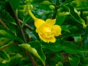 yellow-bloom